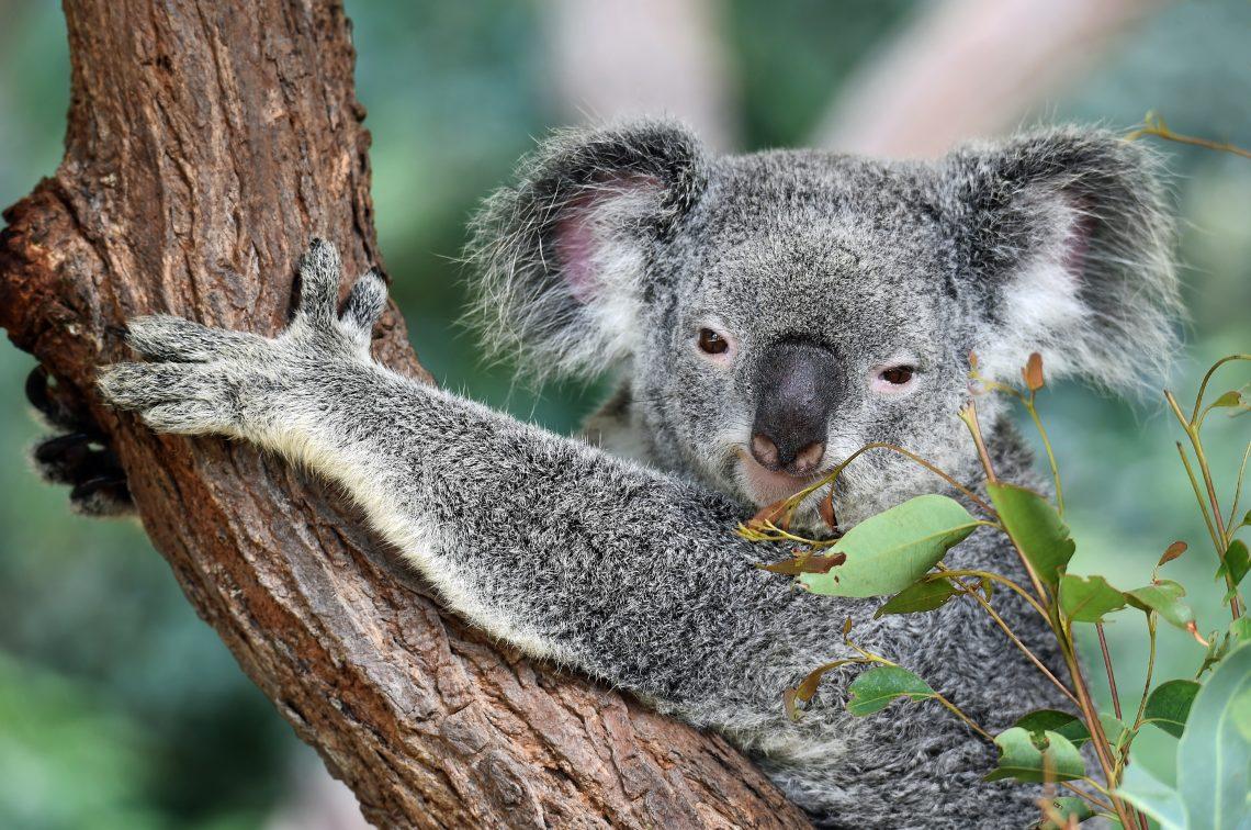 Moonlit-Sanctuary-koala