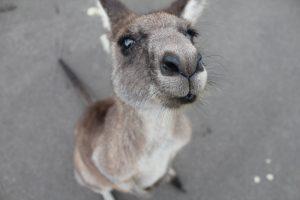 kangourou australien